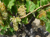 Weißweine aus Minervois 2016